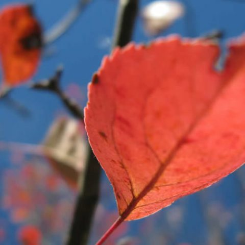 crab apple tree leaves, autumn colours in zagori are a must see