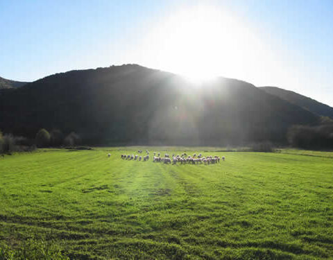 happy sheep grazing on the pastures of soudena valley