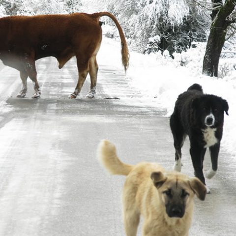 a rogue cow crossing the icy road in zagori