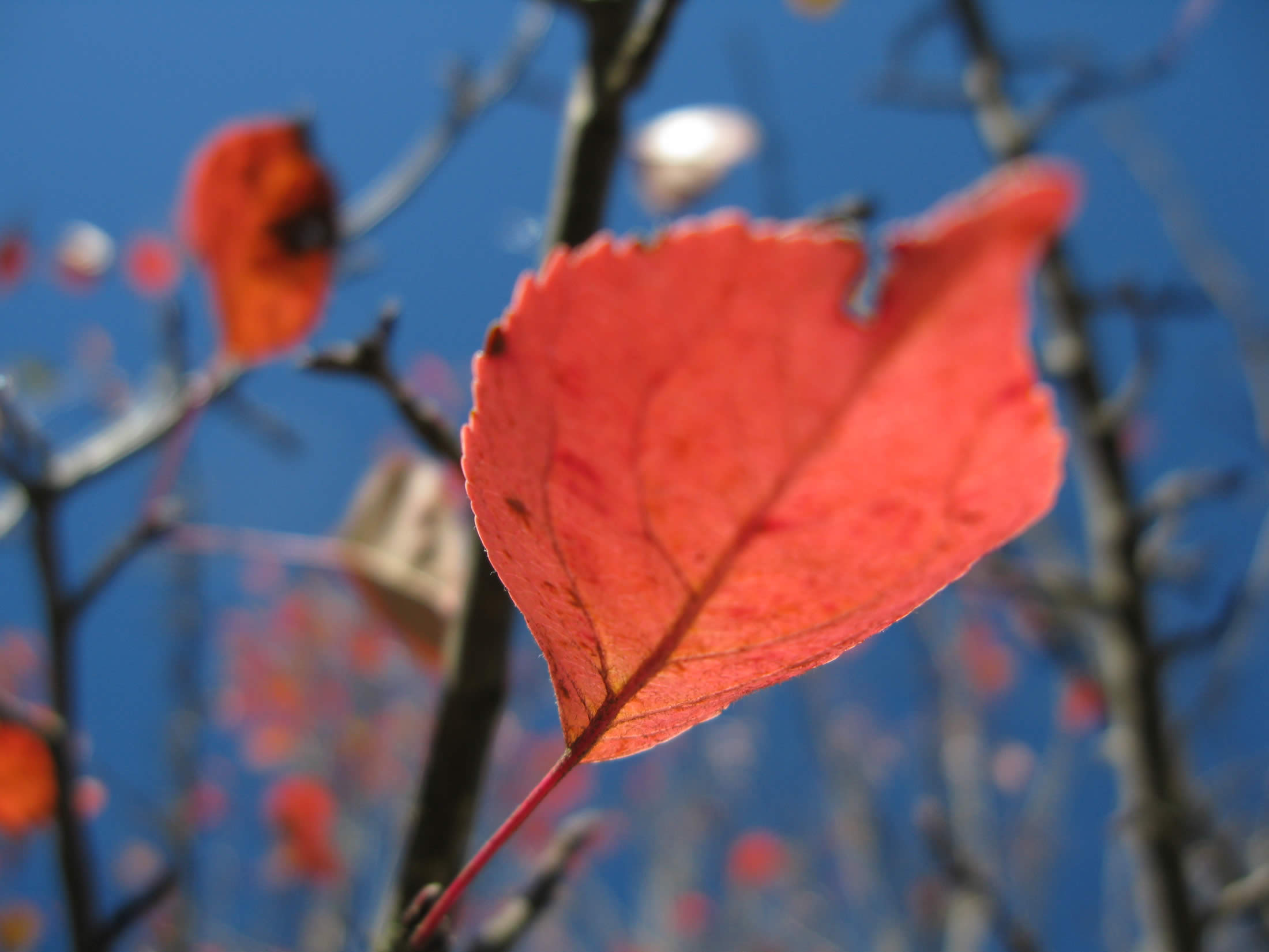 red crab apple tree leaves with blue sky, fall in zagori, greece