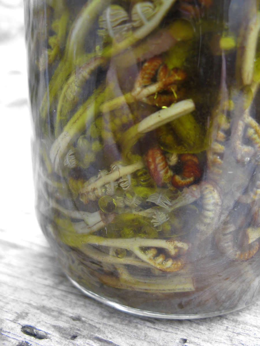 fermented growing unfurling frond tipsfrom the ferns in the forests of Zagori