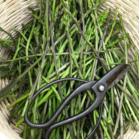 nature's gift during springtime: wild asparagus