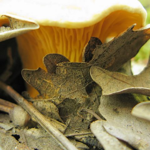 a chanterelle or else yellow gold! a wild mushroom collected during spring and autumn
