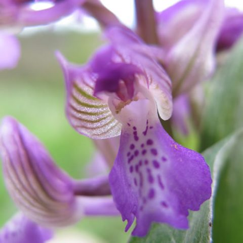 one of many species of wild orchids found on the plains of zagori