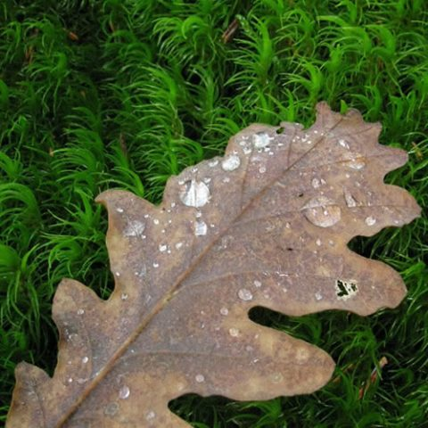 morning dew on an oak leaf
